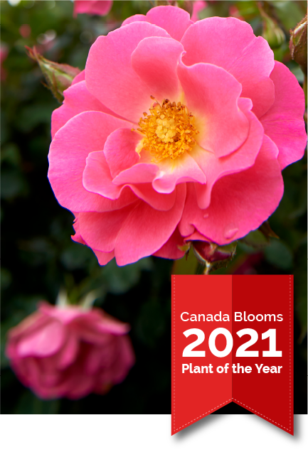 Celebrate with Canada Blooms 2021 Plant of the Year